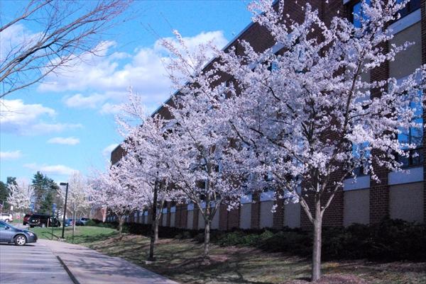 桜並木イメージ
