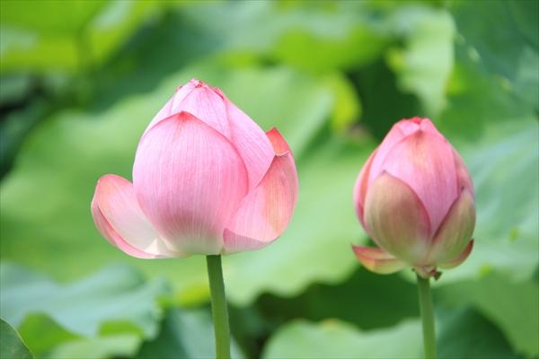 蓮の花イメージ