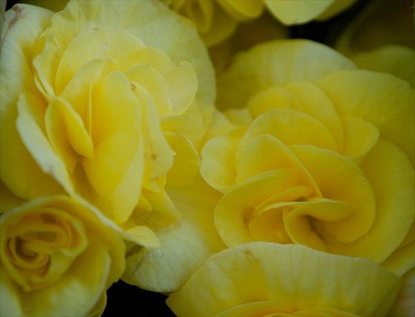 花、黄色イメージ、ベゴニア