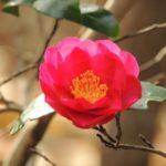 庭のサザンカの花を見て思うことには。