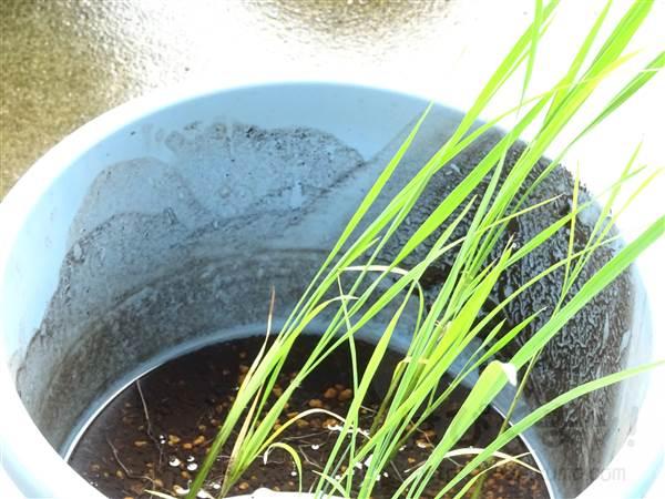 バケツ稲、息子のバケツ稲が細い