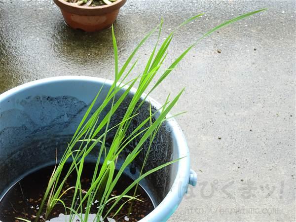 バケツ稲の観察日記